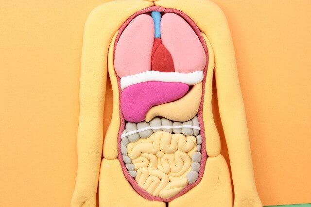 内臓整体イメージ画像