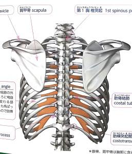 肋骨のイメージ画像