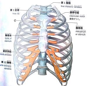肋骨可動域イメージ画像