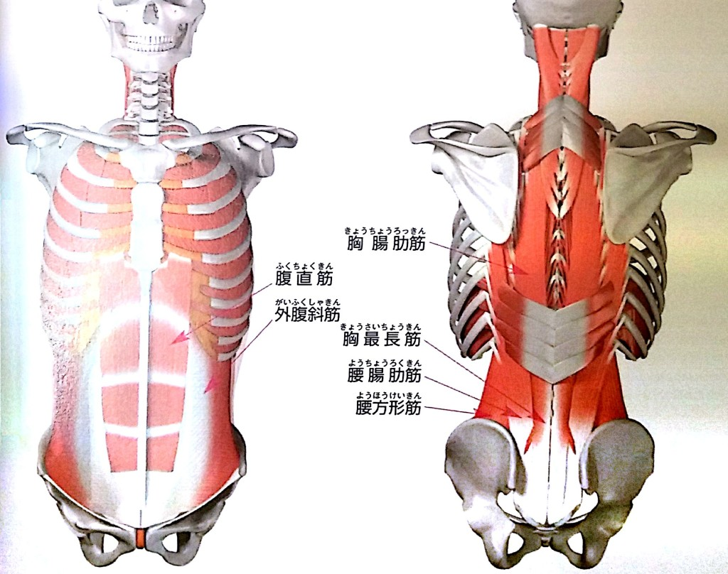 肩甲骨と肩のイメージ画像