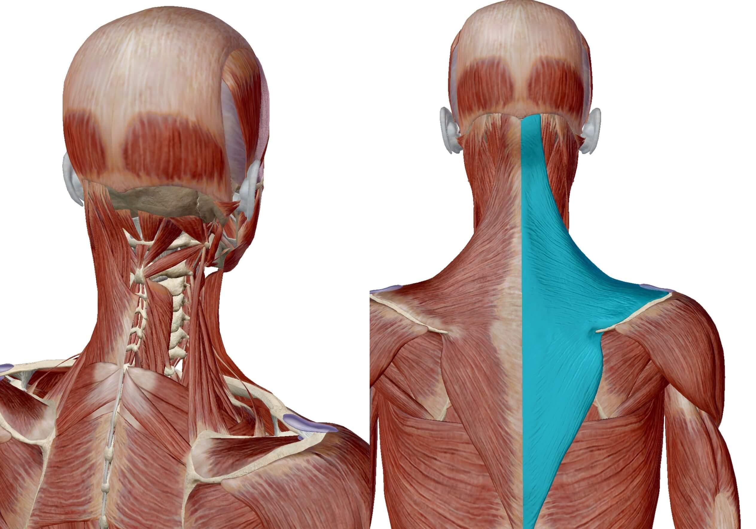 首の筋肉と僧帽筋画像